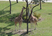 Photo of 2 Giraffe Taken From The Balcony Of Our Deluxe Savannah View Studio At The Animal Kingdom Lodge Jambo House
